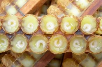 маточное молочко пчелы